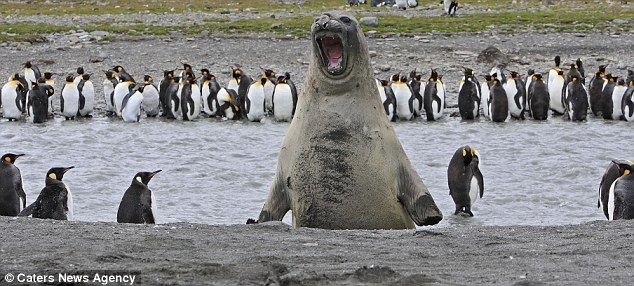 I will eat you little penguins