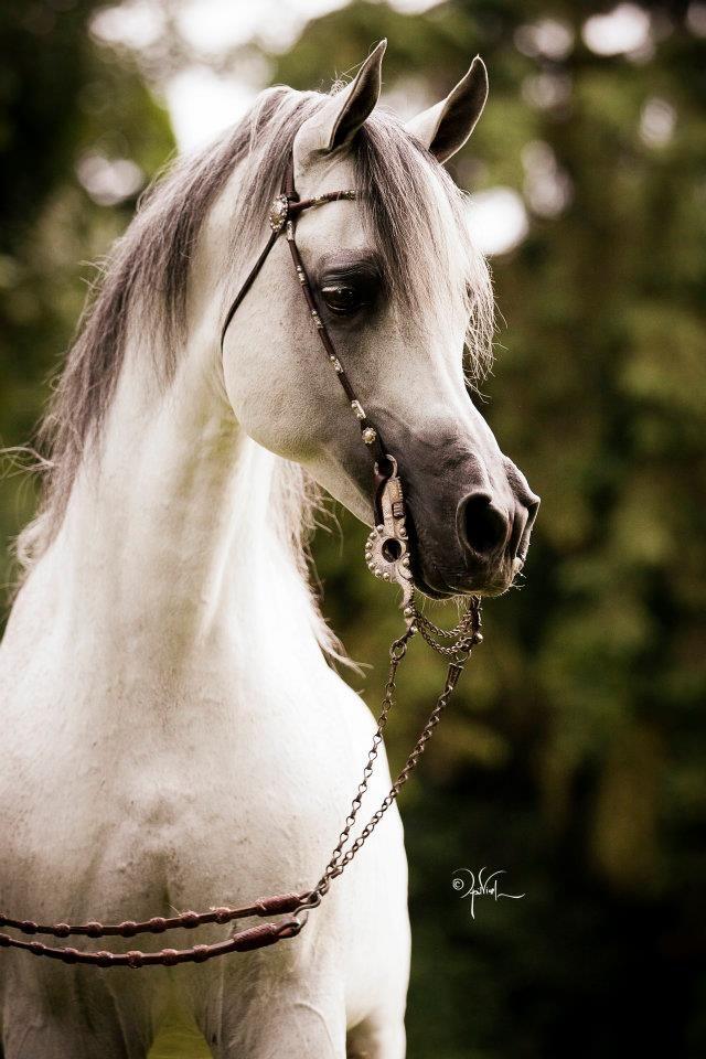 Arabian Morgan western national show horse equine ...