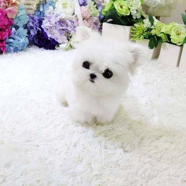 17 Best images about Adorable Teacup puppies! on Pinterest ...