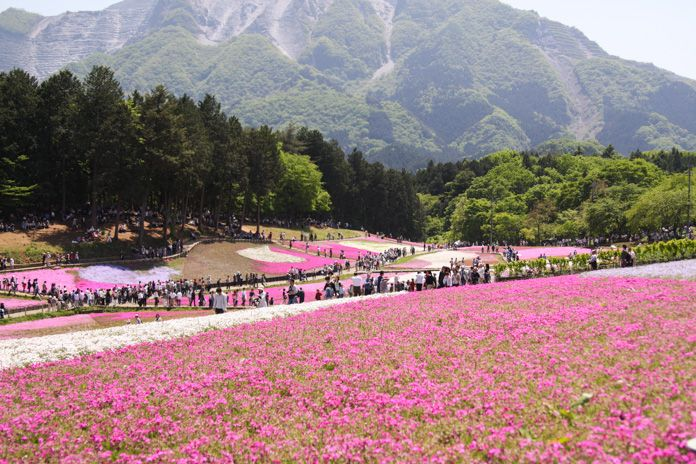 It is that a flower blooms early from the beginning of April in May. http://japan-fun.net/?p=108