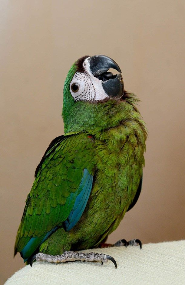 Severe Macaw #99419 for sale in East Stroudsburg , PA