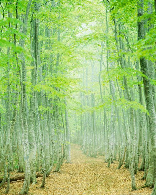 ブナ林の道[25041001336]| 写真素材・ストックフォト・イラスト素材|アマナイメージズ