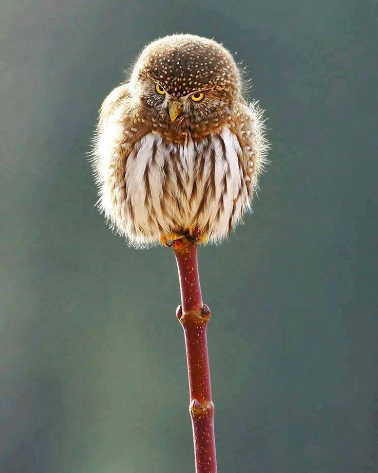 Northern Pygmy Owl (Glaucidium gnoma) by Mark Hryciw