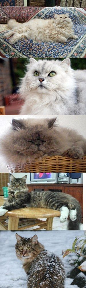 Cinque sorprendenti razze di gatti a pelo lungo