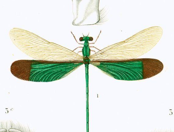 1861 Libellule hersilie gravure ancienne Ch. d par sofrenchvintage
