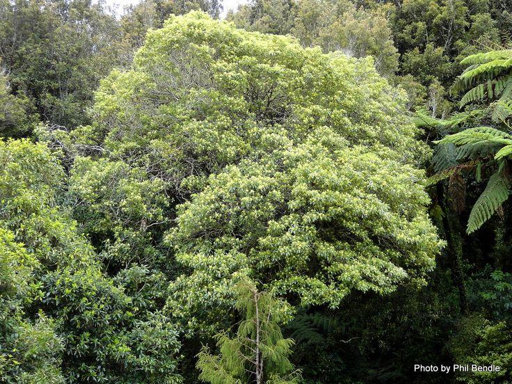 T.E.R:R.A.I.N - mature Pittosporum eugeniodes (Lemonwood)