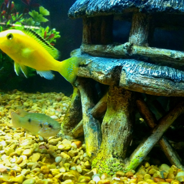 10 best african cichlids images on pinterest african for African freshwater fish
