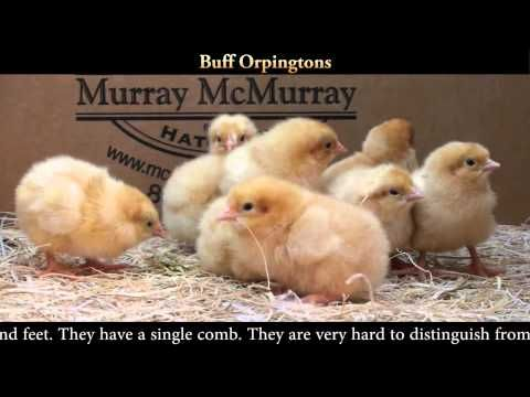 Orpington pictures, video, information and chicks.