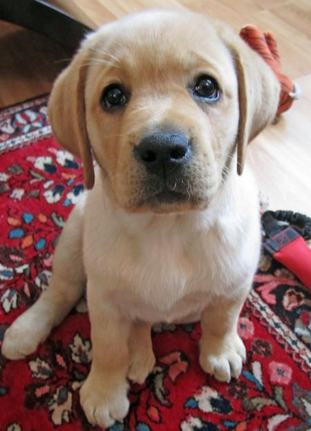 Yellow Labrador Retriever puppy.