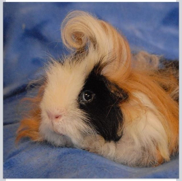 Guinea pig with awesome hair!
