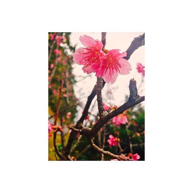 【shii_37】さんのInstagramをピンしています。 《. 雨に降られる前に原付きレンタルして アーラ林道へ寒緋桜を撮りに。 . さあ、あとは帰るだけ〜。 . #沖縄 #okinawa #那覇 #離島 #久米島 #花 #桜 #寒緋桜 #アーラ林道 #楽天キャンプ #楽天 #eagles #iPhone #iPhoneで撮影 #photo #写真  #たびのおわり #現実逃避 #旅行 #ひとり旅 #明日から仕事 #なにそれ #気のせい》