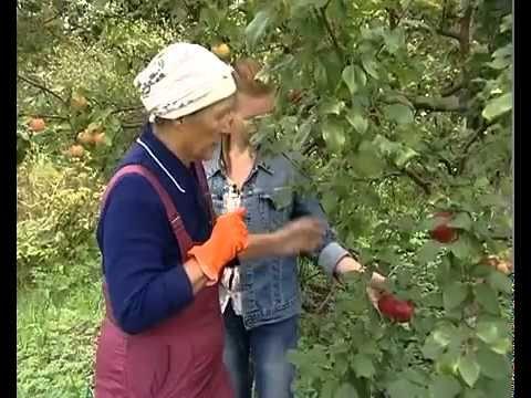 Как правильно привить яблоню пошагово? Прививка яблони к дичке