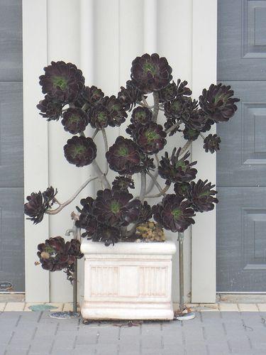 I am so very in love with the black rose tree -- a succulent.: Black Gardens, Black Rose, Gothic Gardens, Rose Succulents, Black Flowers, Rose Trees, Gardens Plans, Black Plants, Aeonium Arboreum