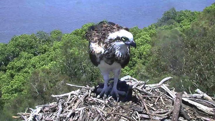 2015 12 07 3 ospreys in the nest