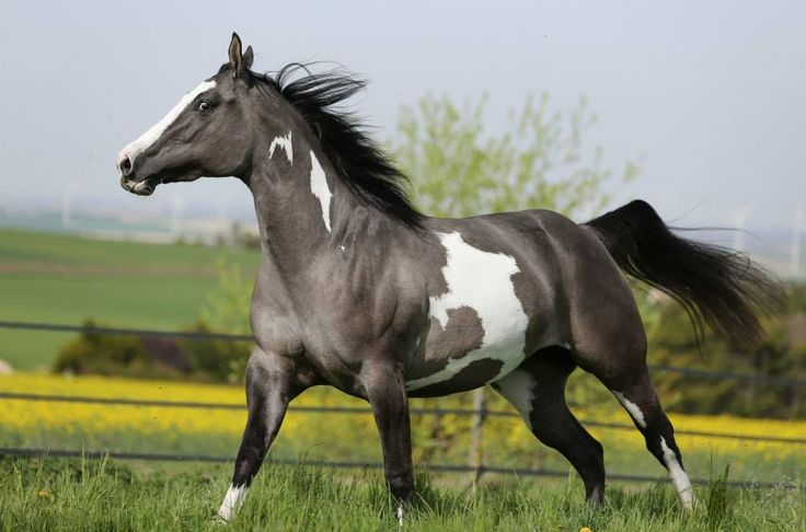Gorgeous grulla paint horse