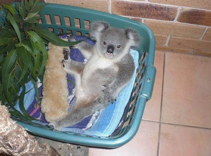 Crescent Head Jimmy was hit by a car back in 2009 but after recovering at the  Koala Hospital Port Macquarie he's doing much better!