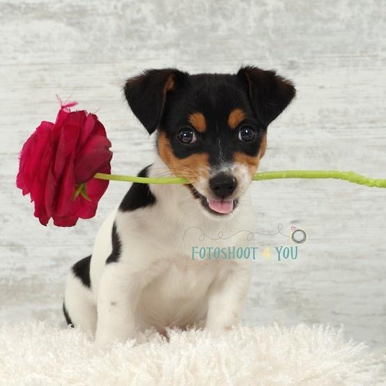 Jack Russel Puppy Dog