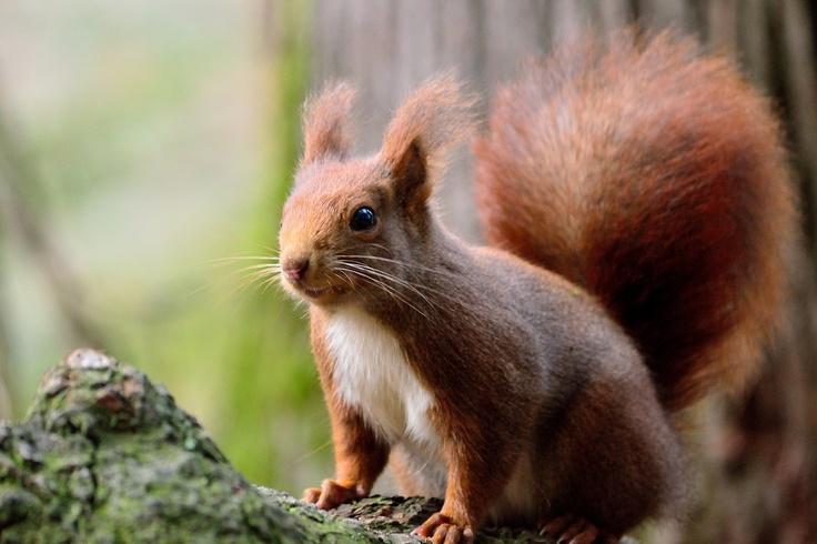 Scoiattolo rosso nel parco di Monza Red Squirrel in Monza's Park