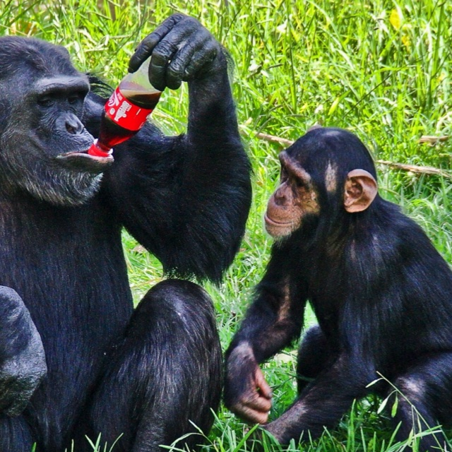 This picture was taken at one of my favorite place in Johannesburg the joburg zoo , even the chimps love coke