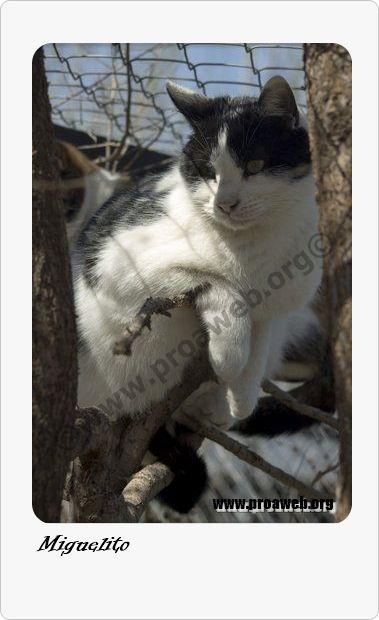 F. Nac: 01/06/2012 Raza: CE Sexo: Macho F. entr: 14/09/2012  http://www.proaweb.org/animal_150_MIGUELITO.html  Llegó con tres meses. Su mama dio a luz en la  ventana de una casa y la trajeron junto a sus cachorros. Es un pelin tímido y a veces bufa, pero no hace nada. En una casa poco a poco mejoraría de su timidez.  Todos los gatos de Proa se entregan vacunados, desparasitados, esterilizados, con chip y con contrato de adopción. SOLO en MADRID.  Contacto: adopciones@proaweb.org