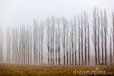 Vertical thin tall trees lined across the picture frame being covered in mist on a winters morning in the mountains.