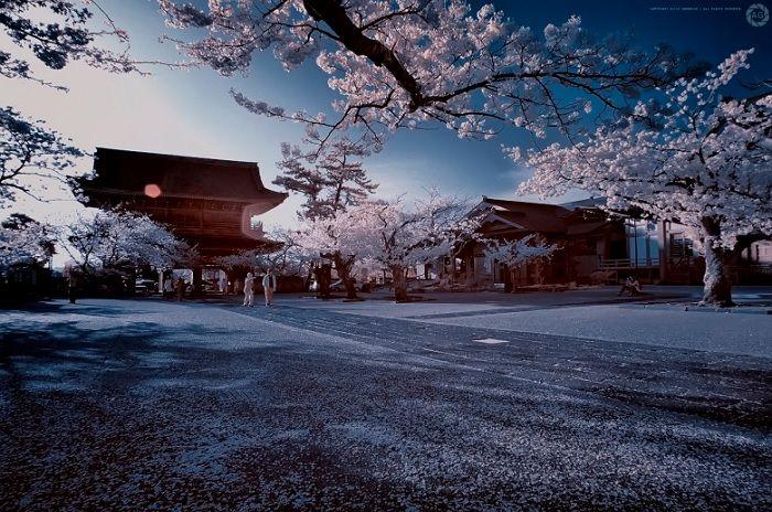 kamakura-komyoji sakura, cherry blossom, spring, season, seasons, trees, the real japan, real japan, japan, japanese, tips, resource, tricks, information, guide, community, adventure, explore, trip, tour, vacation, holiday, planning, travel, tourist, tourism, backpack, hiking http://www.therealjapan.com/subscribe/
