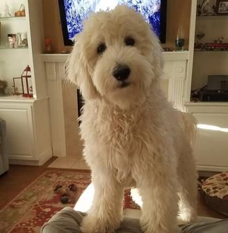 Goldendoodle Puppies, California Goldendoodles - Coastland Goldendoodles - Ventura, Ca
