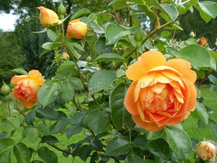 alte englische rosen ber ideen zu alte englische rosen. Black Bedroom Furniture Sets. Home Design Ideas