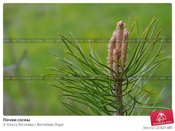 Почки сосны © Ольга Логачева / Фотобанк Лори