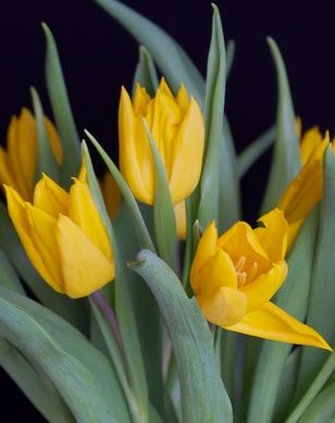 When to Plant Tulip Bulbs in Florida