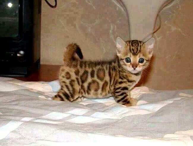 Asian leopard kitten mixed with a Bengal kitten, total domesticated cuteness!