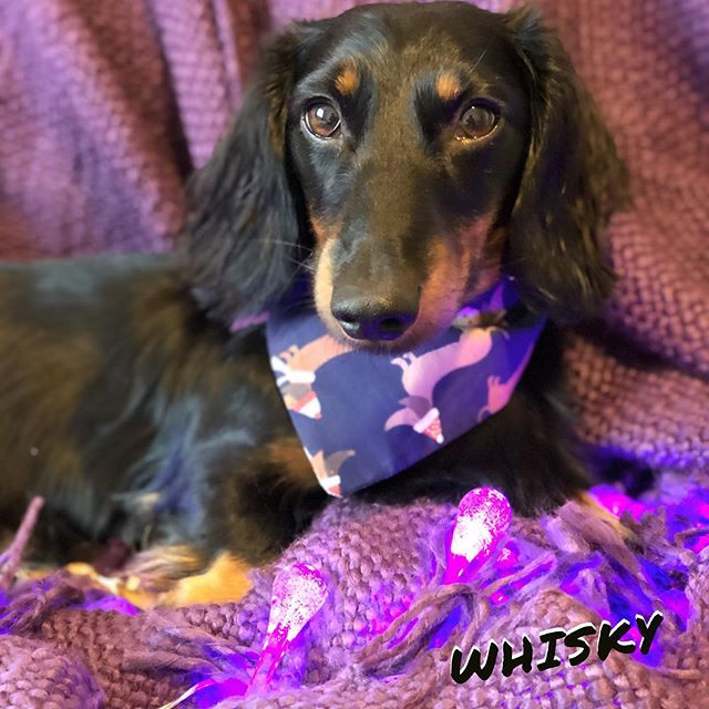 Whisky Check Out This Silly Sausage He Loves To Avoid The Camera But Will Let Me Take One Photo In One Hundre Dog Neckerchief Dog Bandana Puppy Bandana