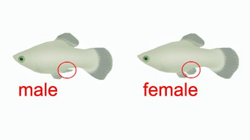 How to tell the gender of your livebearers (Guppies, Platties, and Mollies)