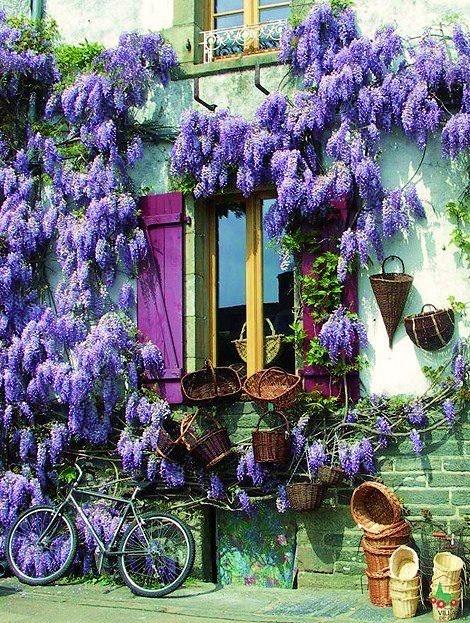 wisteria..