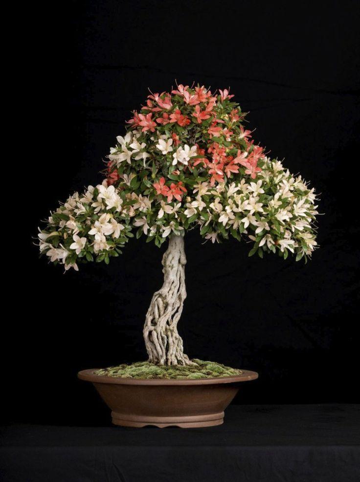 17 best images about satsuki azalea on pinterest bonsai for Azalea bonsai