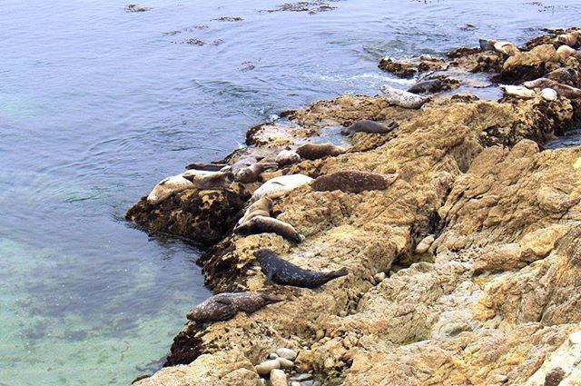 Harbor Seals on the rocks at 17 Mile Drive #HarborSeal #Seal #Seals #MarineLife #MarineAnimals #SunsetPointOverlook #SunsetPoint #17MileDrive #MontereyPeninsula #MontereyBay #PebbleBeach #Monterey #California #점박이바다표범 #바다표범#해양생물#해양동물#선셋포인트#17마일드라이브#페블비치 #몬트레이#몬트레이베이#몬트레이반도#캘리포니아 #montereybaylocals - posted by Tim Ryu https://www.instagram.com/triple.leaf - See more of Monterey Bay at http://montereybaylocals.com