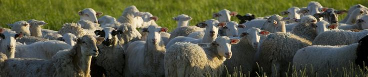 Benefits of Feeding Sodium Bicarbonate to Lambs By: Dr. J.D. Bobb   Ask-a-Vet Sheep