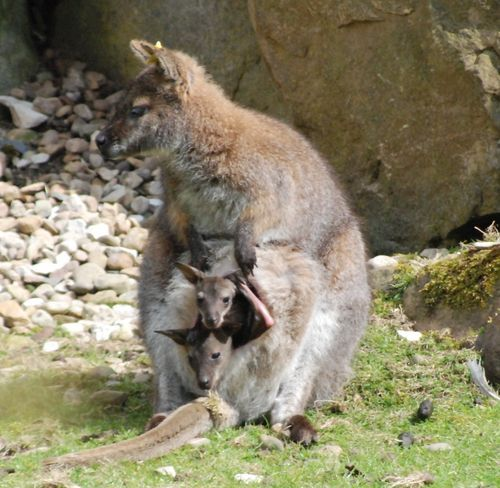 Rare twin wallabies still fit in mom's pouch