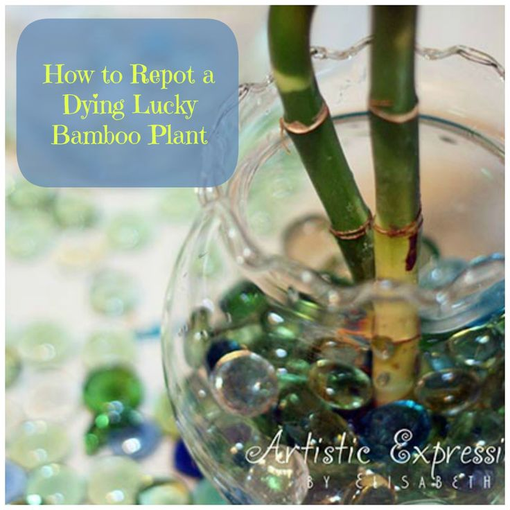 how to grow bamboo plants in water