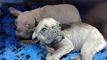 *****APPEAL FOR INFORMATION*****Last week we rescued a pair of terrified French Bulldog puppies after they were abandoned in a cardboard box in Pontypool Park, Wales. They are both very underweight and suffering from skin problems. Please get in touch if you recognise these dogs or know anything about where they may have come from.