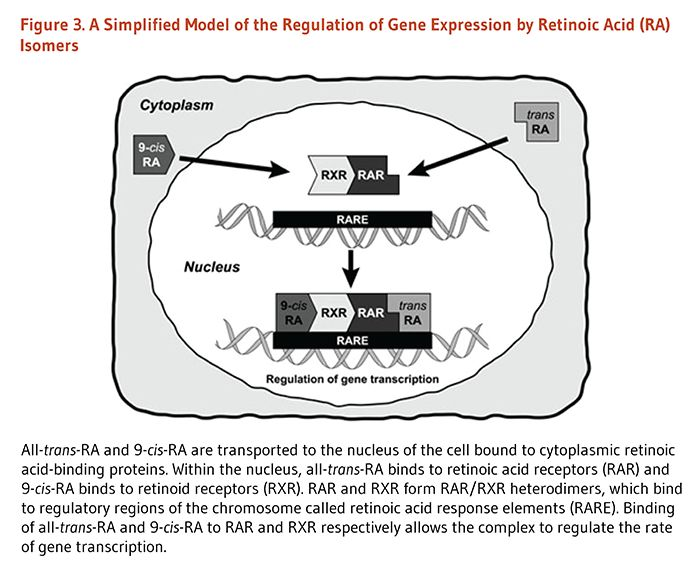 Figure 3. A Simplified Model of the Regulation of Gene Expression by Retinoic Acid (RA) Isomers. All-trans-RA and 9-cis-RA are transported to the nucleus of the cell bound to cytoplasmic retinoic acid-binding proteins. Within the nucleus, all-trans-RA binds to retinoic acid receptors (RAR) and 9-cis-RA binds to retinoid receptors (RXR). RAR and RXR form RAR/RXR heterodimers, which bind to regulatory regions of the chromosome called retinoic acid response elements (RARE). Binding of…