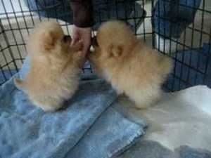the cutest smallest pomeranian puppies :)