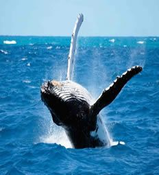 Hermanus Whale Watching from July to November. BelAfrique - your personal travel planner - www.BelAfrique.com