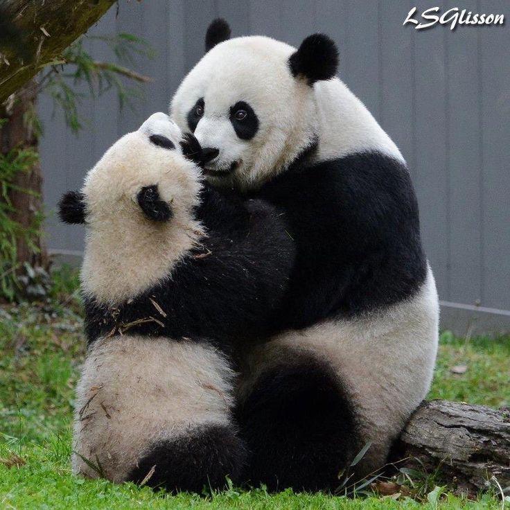 Bei Bei Panda (@houseofcubs) | Твиттер