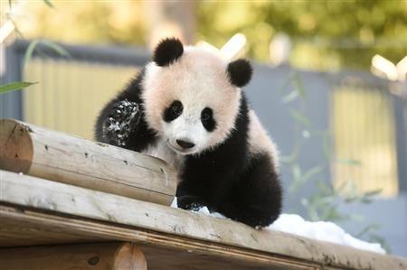 上野動物園(東京都台東区)は26日、ジャイアントパンダの子ども、シャンシャン(香香、雌)が初めて雪の中で遊ぶ写真と映像を公開した。雪に驚くこともなく、走り回ったり、雪を掘ったりしてはしゃいでいる様子だった。