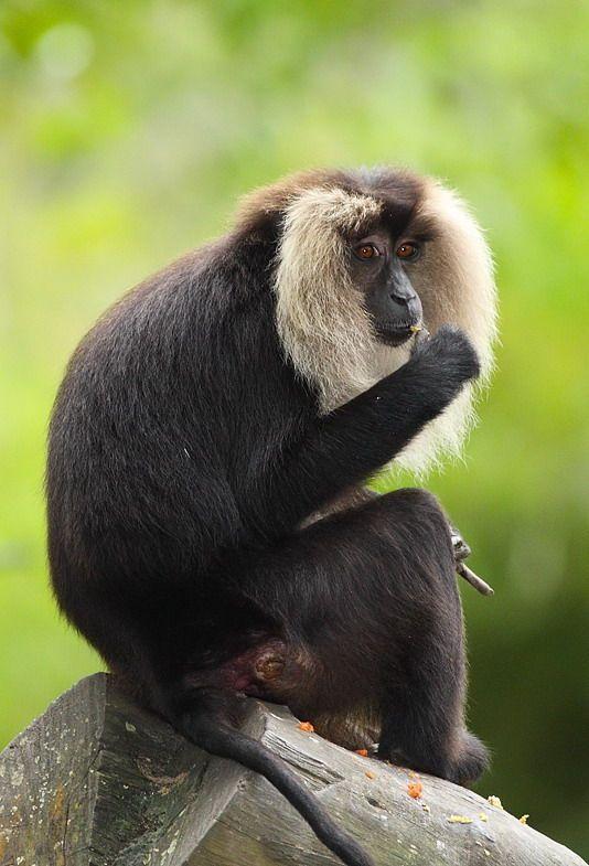 El sileno, macaco de cola de león, mono león o mono barbudo (Macaca silenus) Como otros monos del sur y este de Asia, esta especie es preferentemente arborícola, aunque no tiene el menor problema para moverse por el suelo si es necesario. El pelo recubre todo el cuerpo salvo cara, manos y pies, que al igual que éste son negros; es más largo en la espalda y sobre todo a los lados de la cara, donde destaca una voluminosa barba de pelo claro.