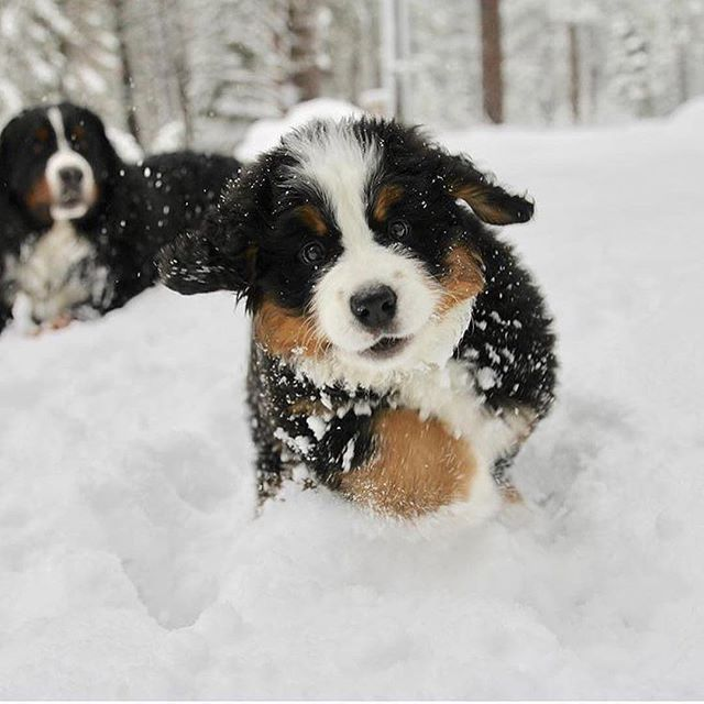 Snow! ❄ @bernese_brothers_lafrom #bernesemountaindoglovers