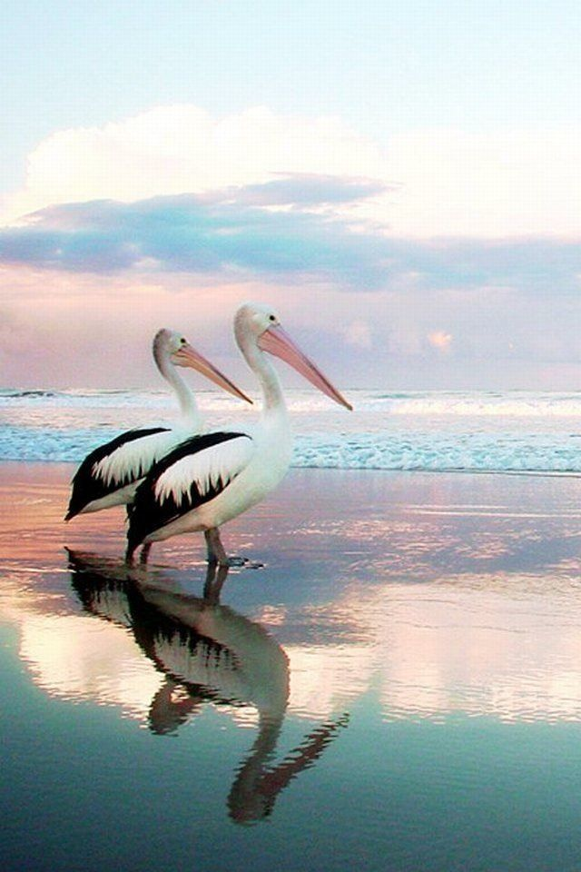 Reflective pair of pelicans