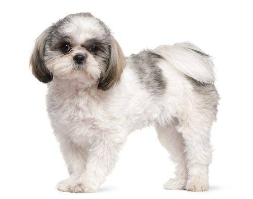 www.petclic.es la mayor tienda online de productos para #mascotas. La mayor biblioteca de contenido y consejos sobre mascotas. 1.000 consejos. 50.000 imagenes. Foto del #perro shih tzu