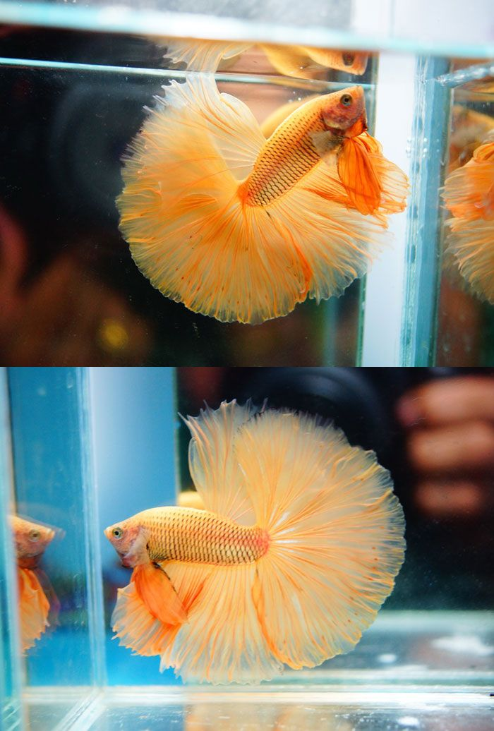 17 best images about aquariums on pinterest live fish for Best place to buy betta fish online